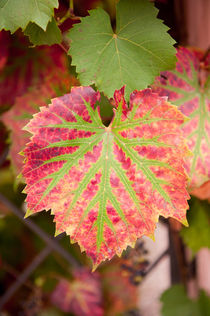 Vitis coignetiae red green leaf by Arletta Cwalina