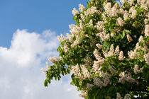 tree of blooming Aesculus by Arletta Cwalina