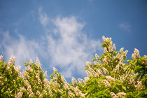 Blossoming Aesculus tree on blue sky von Arletta Cwalina