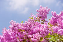 Lilac vibrant pink bunches von Arletta Cwalina