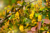 Berberis yellow flowering shrub von Arletta Cwalina