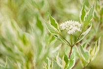 Cornus alba flowering twig by Arletta Cwalina