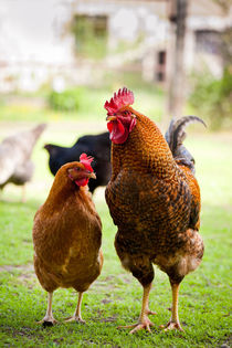 Two Rhode Island Red chickens by Arletta Cwalina