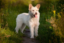 small white stray dog in meadow by Arletta Cwalina
