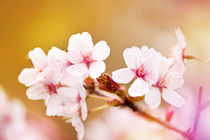 Blooming fairy cherry tree flowers by Arletta Cwalina