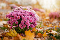 Chrysanthemum clump and autumn leaves by Arletta Cwalina