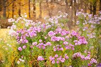 Pink Aster flowering plants von Arletta Cwalina