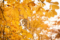 chestnut autumn yellow leaves by Arletta Cwalina