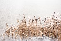 Typha reeds at frozen lake von Arletta Cwalina