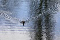 Teichhuhnwasser 1