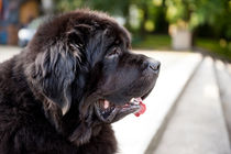 large black Newfoundland dog von Arletta Cwalina