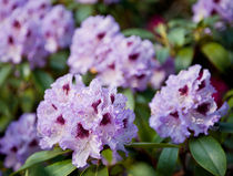 Azalea purple flowers in bunch by Arletta Cwalina