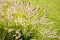 Grass bunch Pennisetum alopecuroides by Arletta Cwalina