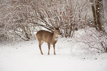 Hungry doe search food in snow von Arletta Cwalina