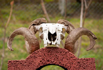 Large ram antlers on skull by Arletta Cwalina