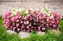 pink Begonia semperflorens clumps von Arletta Cwalina