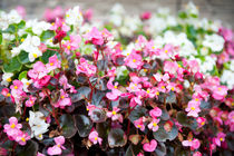 flowering Begonia semperflorens clumps by Arletta Cwalina