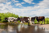 Herd of cows walking across pool von Arletta Cwalina