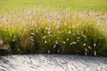 Pennisetum alopecuroides grasses by Arletta Cwalina