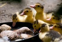Yellow Muscovy duck ducklings von Arletta Cwalina
