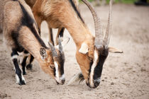 domesticated goats eating from sand by Arletta Cwalina