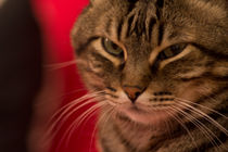 Img-5415-portrait-cat-angry