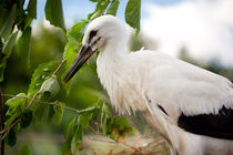 Orphaned one White Stork by Arletta Cwalina