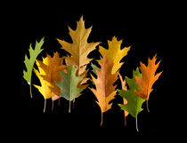 Variety coloured autumn oak leaves by Arletta Cwalina