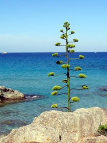 Mallorca Baum / Mallorca Tree von Dominik Armitage