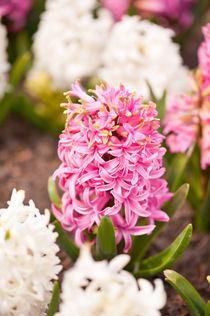 Hyacinthus flowering cluster pink by Arletta Cwalina