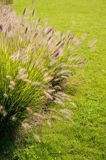 Grass clump Pennisetum alopecuroides by Arletta Cwalina