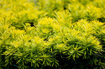 Taxus baccata Yew new shoots by Arletta Cwalina