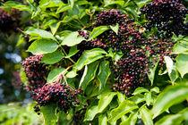 Elderberry fruits fresh clusters von Arletta Cwalina