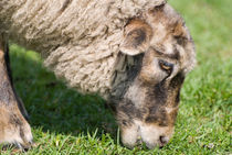 Single adult sheep eating grass von Arletta Cwalina