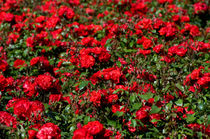 Red roses bunches grow in park by Arletta Cwalina