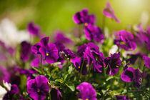 Purple pansies flowering bunch von Arletta Cwalina