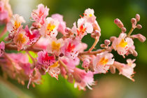 Aesculus red chestnut tree blossoms by Arletta Cwalina