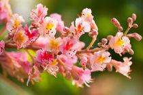 Aesculus red chestnut tree blossoms von Arletta Cwalina