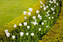 White tulips in buxus arrangement von Arletta Cwalina