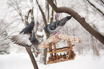 pigeons sitting on bird feeder von Arletta Cwalina