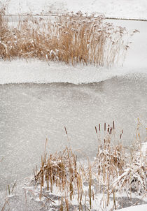 Typha reeds winter season by Arletta Cwalina