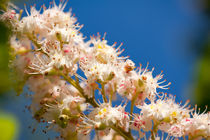 Macro of blooming Aesculus by Arletta Cwalina