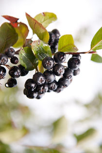 Chokeberries or aronia fruits by Arletta Cwalina