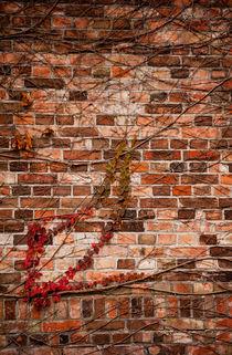 Red ivy hedge creeper on wall von Arletta Cwalina