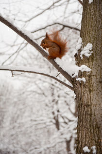 Squirrel sitting on twig in snow von Arletta Cwalina