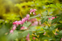 Lamprocapnos spectabilis dangle heart by Arletta Cwalina