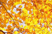 Autumn beech Fagus foliage yellow von Arletta Cwalina