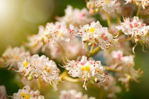 Aesculus chestnut tree blossoms by Arletta Cwalina