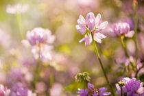 Wild pink Clover or Trifolium flowers by Arletta Cwalina