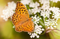 Argynnis paphia butterfly beauty by Arletta Cwalina